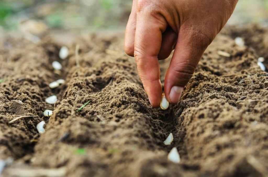 Semie de graines