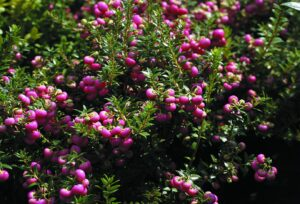 Le Lily of the Valley Tree, petit arbuste avec ses bais rosées