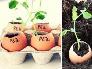 Boite à œufs avec œufs qui servent de petits pots pour jeunes plantes